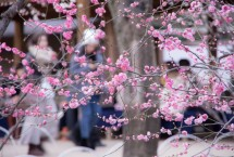 Beautiful plum blossoms in full bloom at Kitano tenmangu shrine, Kyoto