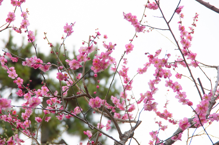 Plum blossoms and a pine tree