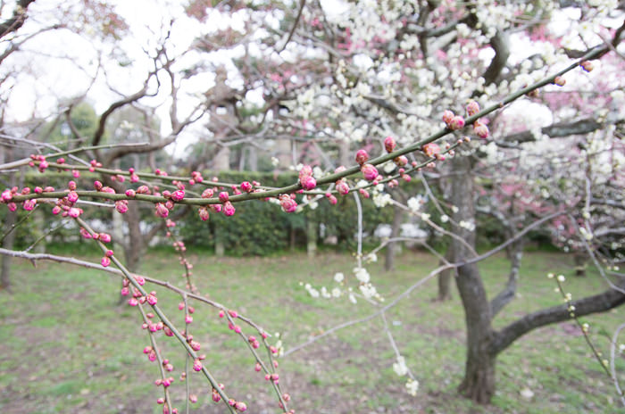 White and red plum blossoms